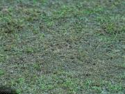 中国球场的草皮质量为什么总是很差?