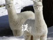 河北华夏幸福就像瘦死的骆驼比瘦死的羊驼大!